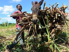Rum culture may be a mainstay throughout the Caribbean, but one of the most overlooked countries in spirits, Haiti, is making a sugarcane spirit called clairin that's unlike any rum you've tasted. Kingston, Rum, Donkey, Pictures, Travel, Business, Landscape Photography, Paisajes, Photography