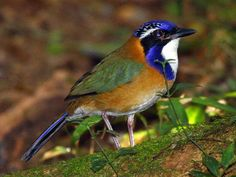 The ground rollers are a small family of non-migratory near-passerine birds restricted to Madagascar.