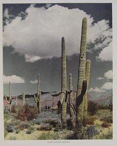 Saguaro, via the incomparable Desert Fete http://adesertfete.blogspot.com