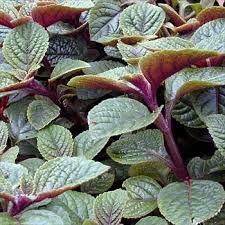 Plectranthus ciliatus Purple 1 House Plants, Plants, Purple, Succulents, Plant Leaves, Flowers, Houseplants, Container Gardening, Garden Plants