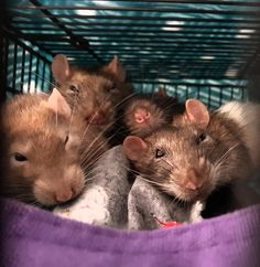 Photo OPPPPP! #aww #cute #rat #cuterats #ratsofpinterest #cuddle #fluffy #animals #pets #bestfriend #ittssofluffy #boopthesnoot