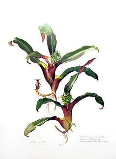 Nidularium burchellii - Margaret Mee