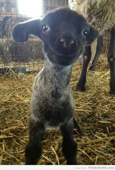 Happy Little Sheep...OMG I just died from cuteness