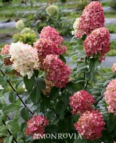 Monrovia's Fire Light® Hardy Hydrangea details and information. Learn more about Monrovia plants and best practices for best possible plant performance.