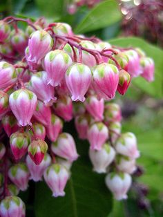 Pieris japonica (Japanese andromeda) is a plant in the heath family, Ericaceae. It is native to eastern China, Taiwan, and Japan where it grows in mountain thickets.