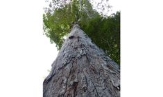 New tree species in Brazil probably the world's heaviest living organism
