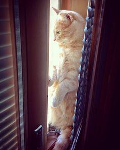 Heh #kissa löysi mukavan paikan kahden ikkunan välistä.  #cats #cat #catsofinstagram