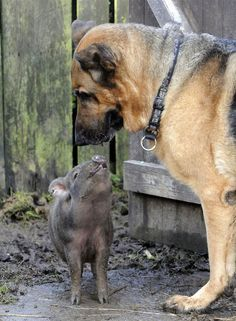 A lonley, 4-month-old piglet was given to the St Francis Animal Welfare Shelter in Fair Oak, England by a family who could no longer care for her. Since then pint-sized Coco has become firm friends with German Shepherd Jay. The piglet, who is convinced she is a dog, walks on a leash, fetches sticks and guards the other dogs. Coco's behavior has earned her the nickname 'Babe' in reference to the 1995 film of the same name in which a talking piglet takes on the role of a sheepdog.
