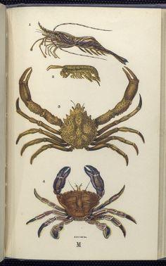 1. Pandalus annulicornis, Æsop Prawn; 2.  Sandskipper; 3. Maia squinado, Spider-crab; 4. Portunus puber, Velvet swimming  Crab, or Velvet Fiddler.
