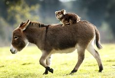 Donkey with a Long-Haired Chihuahua passenger.