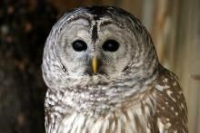 Intriguing program on owls in Iowa on Iowa Public Radio. Wonderful owl calls, including barred owls, barn owls, and screech owls