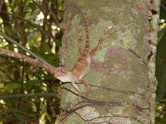 Camaleão - Registro feito em Bom Jesus - Marechal Floriano - ES Foto: Alvair Gomes