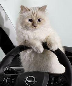 Guter Stundenlohn: 2'172'625 Pfund hat Karl Lagerfelds Katze Choupette mit nur zwei Modeljobs verdient.