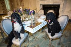Obama family pets Bo, left, and Sunny sit at a table in the State Dining Room of the White House, Feb. 10, 2014. The table settings will be used at the State Dinner for President François Hollande of France (Photo by Lawrence