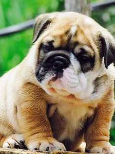 The wonderful English Bulldog pup is a wonderful overall household buddy pet dog. English Bulldog images, breeders and pups for sale plus learn how to. Cute Puppies, Cute Dogs, Dogs And Puppies, Doggies, Terrier Puppies, Corgi Puppies, Boston Terrier, Cute Bulldogs, Baby Bulldogs