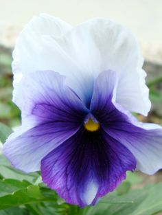 purple flower pansy #purple #pansy #flowers
