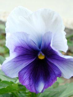 purple flower pansy #purple #pansy #flowers