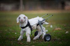 Filhote de cabra dá seus primeiros passos com a ajuda de um carrinho