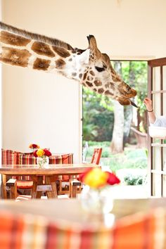 A beautiful giraffe enjoying some breakfast at Giraffe Manor (image credit ) Hello! Happy Thursday to you :) Every now and then, . Giraffe Manor Hotel, Okapi, Gentle Giant, Nairobi, African Safari, Places To Go, Cute Animals, Kenya Africa, Happy Thursday