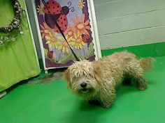 ~ Animal ID #A449928 ‒ I am a Male, Tan Miniature Poodle and Lhasa Apso. The shelter thinks I am about 3 years old. I have been at the shelter since May 27, 2015. Moreno Valley Animal Services ‒ (951) 413-3790 14041 Elsworth Street Moreno Valley, CA Fax: (951) 413-3769 https://www.facebook.com/OPCA.Shelter.Network.Alliance/photos/pb.481296865284684.-2207520000.1433104097./827042294043471/?type=3&theater