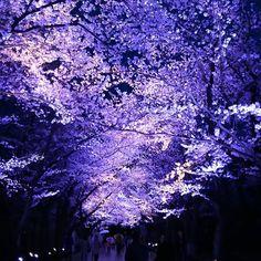 いいね!48件、コメント7件 ― かなママさん(@kanamamav)のInstagramアカウント: 「日本三大夜桜 今年の4月に見に行きました 雨が降っていましたがとても綺麗でした✨ #夜桜 #桜 #日本三大夜桜 #桜ロード #風景 #春 #高田公園 #上越市 #新潟県…」