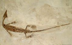 http://dinoera.com/sites/default/files/mesosaurus_23_cc.jpg