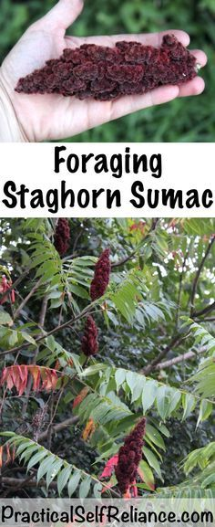 Foraging Staghorn Sumac ~ A natural source of Vitamin C. Sumac is easy to forage anywhere on the east coast of the united states. It's both easy to find and identify. Healing Herbs, Medicinal Plants, Healing Spells, Natural Healing, Permaculture, Edible Wild Plants, Diy Herb Garden, Living Off The Land, Wild Edibles
