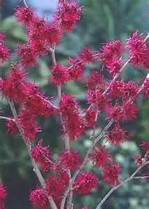witch hazel plant in bloom early in the year and can be a reddish or yellowish Bushes And Shrubs, Garden Shrubs, Garden Trees, Trees To Plant, Garden Plants, Winter Plants, Winter Flowers, Winter Garden, Witch Hazel Tree