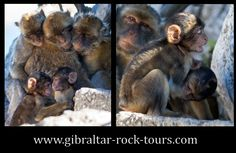 A family of apes / www.gibraltar-rock-tours.com Tours, Rock, Skirt, Locks, The Rock, Rock Music, Batu, Rock Roll