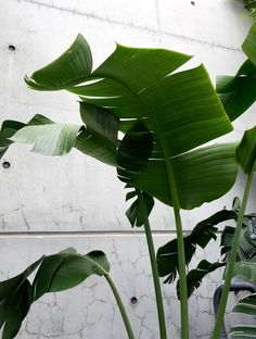 Bird of Paradise Botanical name 'Strelitzia'. Referred to as indoor banana palm