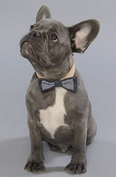 Handsome Blue! This picture makes me want a dog like this in the future! Limited Edition French Bulldog Tee