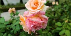 Labor Day - Last Unofficial Weekend of Summer.  A pink rose in Krakow, Poland. Aug. 2014