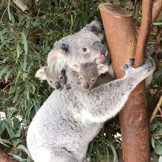 """85.2 ezer kedvelés, 2,137 hozzászólás – Australia (@australia) Instagram-hozzászólása: """"Babysitting duties at @cavershamwildlifepark  These two tiny koalas hitching a ride here are…"""""""