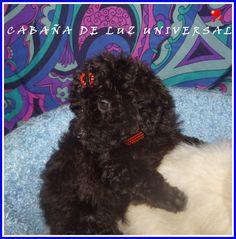 www.canicheschnauzer.blogspot.com: SER UN PROPIETARIO RESPONSABLE #caniches #cachorros #mascotas