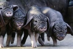Twelve Heritage Pig Breeds | Big Picture Agriculture