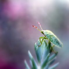 Common Shield Bug / Schildwants (Palomena prasina)