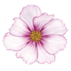 "Empire Art Direct ""Magenta Cosmo on White"" Frameless Free Floating Tempered Glass Panel Graphic Art Floral Wall Art, Arte Floral, Sunflower Photography, Glass Printing, Plant Drawing, Painting Prints, Art Print, Paintings, Watercolor Flowers"