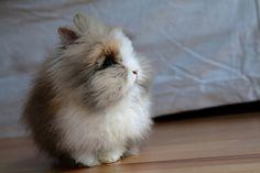 Angora bunnies are so fluffy. IT'S SO FLUFFY I'M GUNNA DIEEEEE!!!!