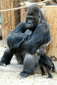 animals wild Richard the gorilla sits in a sulking pose as his newborn son Ajabu tries to get his dads attention at Prague Zoo Zoo Pictures, Animal Pictures, Pictures Of Wild Animals, Zoo Photos, Nature Animals, Animals And Pets, Zoo Animals, Cute Baby Animals, Funny Animals