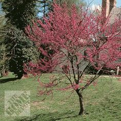 We had a red bud tree in the back yard growing up.  Can't wait to have one in my own yard one day!