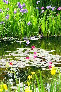 モネの庭マルモッタン(高知県北川村野友甲)の水の庭では温帯性スイレンが咲き始めた。赤い花が20輪ほど、白い花も開いた。
