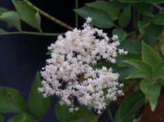 Sambucus nigra 'Haschberg'