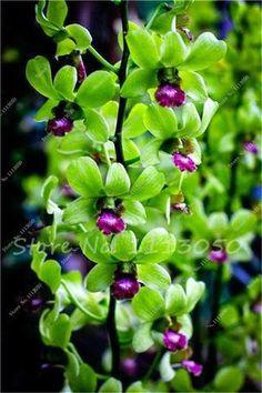 100 PCS Cymbidium Seed,Rainbow Chinese Cymbidium Orchid Flower Seeds,Potted Plant,Indoor Bonsai Flower Seeds Cicada Orchid Seeds