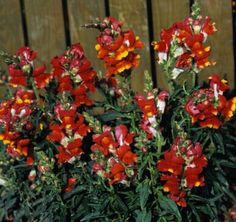 Snapdragon Seeds 60 Varieties Annual Flower Seeds