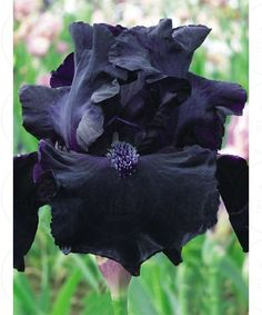 Iris germanica 'obsidian' Obsidian has very dark petals and violet beard. This ruffled tall bearded iris is a real show-stopper as in certain lighting it turns jet black. Rare Flowers, Iris Flowers, Black Flowers, Exotic Flowers, Amazing Flowers, Planting Flowers, Beautiful Flowers, Flowers Garden, Yellow Roses