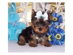 Tea Cup York Shire Terrier Puppies For Sale Yorshire Terrier, Silky Terrier, Teacup Yorkie, Teacup Puppies, Mini Puppies, Cute Puppies, Baby Pigs, Yorkshire Terrier Puppies, Animal Pictures