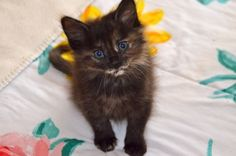View Domestic Medium Hair - Tortoiseshell for sale in Fort Lauderdale Best Parenting Books, Parenting Plan, Parenting Classes, Parenting Toddlers, Foster Parenting, Parenting Humor, Anxiety In Children, Adult Children, Losing A Pet