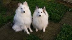 sheltie puppies cincinnati