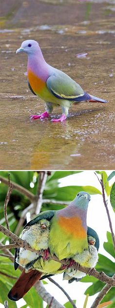 Jacobin Pigeon, Fantail Pigeon, Nicobar Pigeon, World's Most Beautiful, Beautiful Birds, Unusual Animals, Cute Animals, Pink Necked Green Pigeon, Pink Pigeon