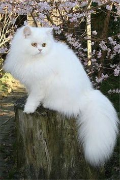 white-persian-cat-standing-on-a-trunk.jpg (500×750)